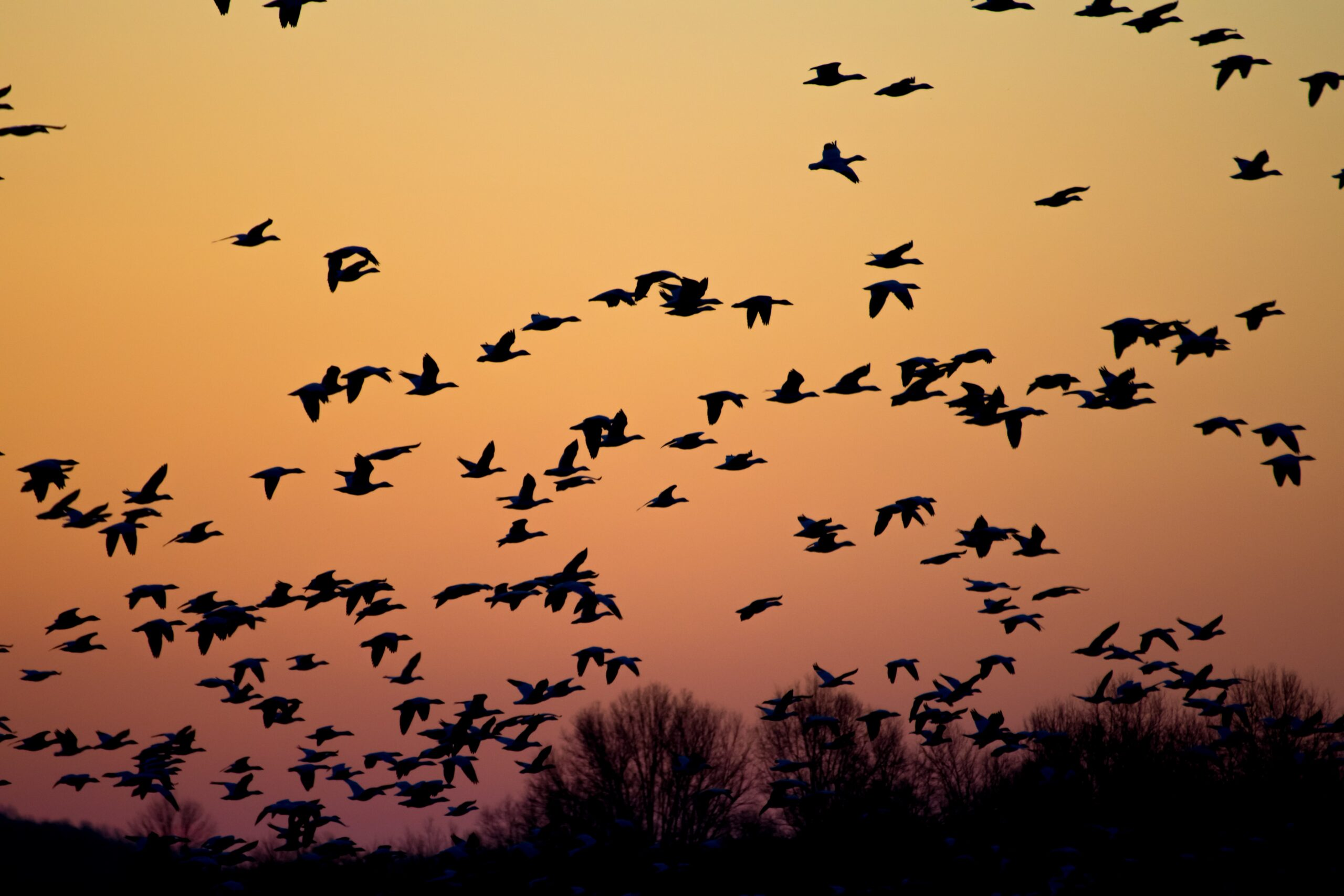 flock of bird silhouetted in organge night sky